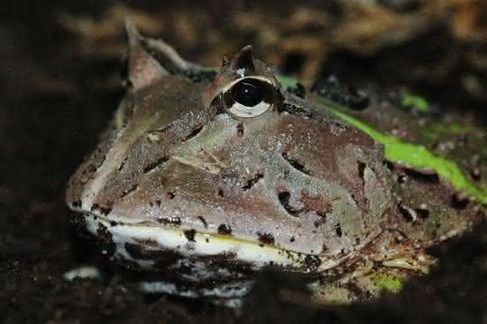 Südamerikanischer Hornfrosch