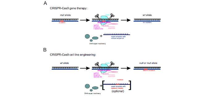 Bild 2. Verwendung des CRISPR-Cas9-Systems in A) Gentherapie und B) Zelllinien-Engineering.