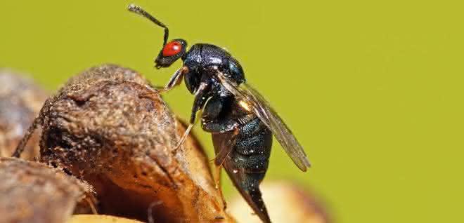 Erzwespe Ormyrus nitidulus