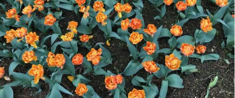 Woher wissen die Tulpen, wo oben und unten ist?