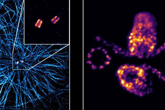 Links eine expandierte humane Zelle mit Mikrotubuli (blau) mit einem Zentriolenpärchen (gelb-rot) in der Mitte. Rechts die detaillierte Struktur zweier expandierter Zentriolenpärchen.