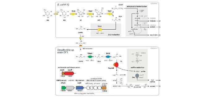 Abbau von Sulfoquinovose (SQ) durch Escherichia coli