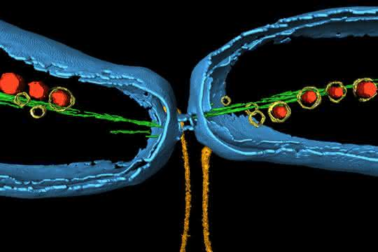 Magnetospirillum gryphiswaldense in Teilung, mit Magnetitkristallen (rot) und dem speziellen Cytoskelett (grün).
