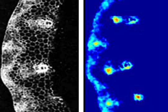 Saccharoseverteilung im Halm der Gerstenpflanze (Hordeum vulgare): Gefrierschnitt (links) und Karte der Saccharoseverteilung (rechts) gemessen mittels FTIR-Mikrospektroskopie.