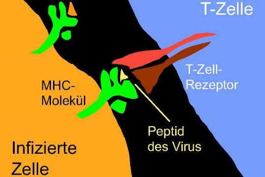Der T-Zell-Rezeptor erkennt ein kleines Stück eines bestimmten Krankheitserregers.