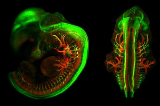 Dreidimensionale Fluoreszenzaufnahme eines Mausembryos. Motorische und sensorische Nervenbahnen wurden eingefärbt.