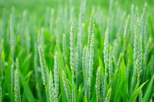 Mit Hilfe selbst gebildeter organischer Substanzen kann Weizen sich besser gegen Hitze- oder Überflutungsstress schützen.