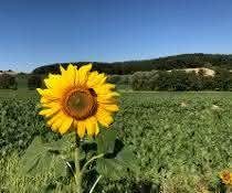 Sonnenblume auf einem Acker