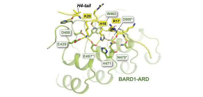 Die Entscheidung über den Reparaturweg fällt am Molekül BARD1.