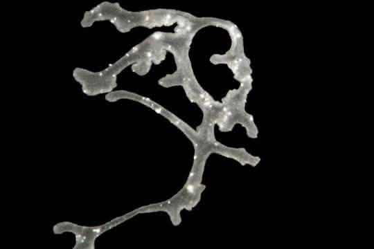 Lichtmikroskopische Aufnahme von Polyplacotoma mediterranea