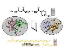 Biosynthese der in Bakterien sehr weit verbreiteten gelben Arylpolyen-Schutzpigmente aus einfachen Vorstufen.