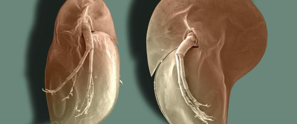 Typische Körperform des Wasserflohs Daphnia longicephala: li. ohne, re. mit Verteidigungsstrukturen.