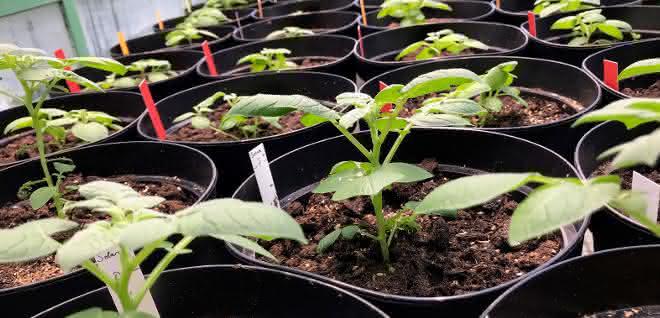 Die hitzeresistenten Pflanzen bilden auch bei mehr als 29 Grad Celsius noch Knollen.
