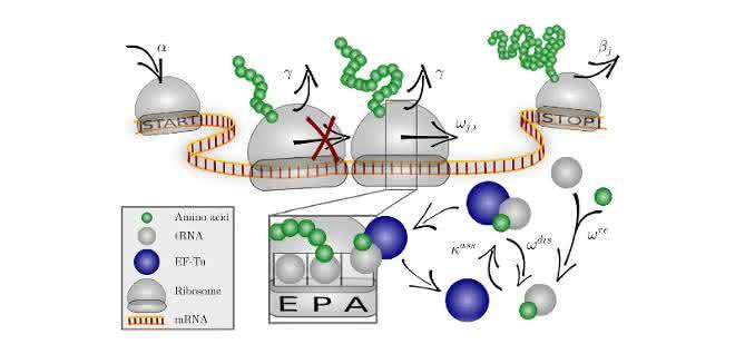 Das Codon-spezifische Elongationsmodell (COSEM) simuliert die Proteinsynthese.