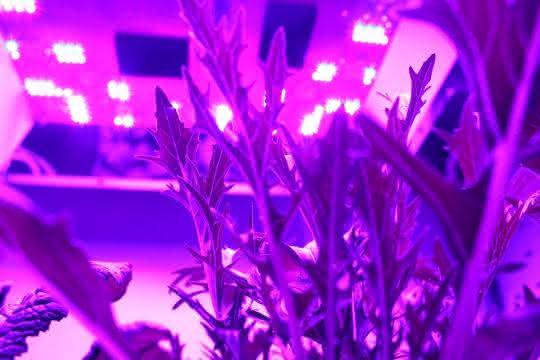 Spezielle UV-LEDs werden in der Gemüsezucht eingesetzt. Sie stimulieren die Pflanzen, besonders viele wertvolle sekundäre Pflanzenstoffe zu produzieren.