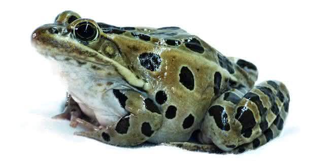 Gehirnaktivitäten des Leopardfrosches, die durch unterschiedliche akustische Signale ausgelöst werden,  standen im Mittelpunkt der Studie.