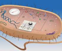 Die Wissenschaftler entwickelten einen integrierenden Regelkreis (vorne als Schaltplan dargestellt) für Kolibakterien.