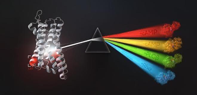 Die Grafik zeigt, welche G-Proteine an bestimmte G-Protein-gekoppelte Rezeptoren (GPCRs) binden und wie diese wiederum mit Signalereignissen zusammenhängen.