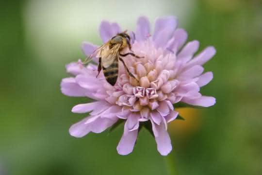 Wiesenkräuter wie die Witwenblume bieten nicht nur Honigbienen, sondern auch Wildinsekten reichhaltige Nahrung.