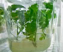 Molekulare Pflanzenphysiologie: Regulation aus der Ferne: Wie Gene aus Blattzellen das Wurzelwachstum beeinflussen