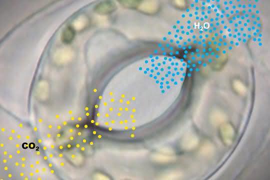 Gasaustausch über die Stomata: Kohlendioxid wird aufgenommen, gleichzeitig werden pro aufgenommenem CO2-Molekül hunderte Moleküle Wasser abgegeben.