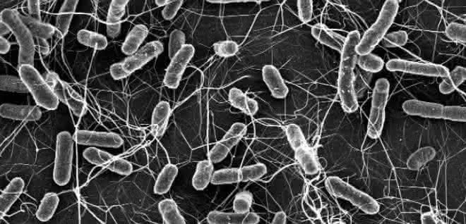 Mikroskopische Aufnahme von Salmonellen