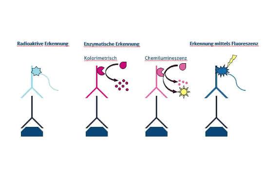 Verschiedene Nachweismethoden für die Western Blot Analyse mittels Radioaktivität, enzymatischer Reaktion (kolorimetrisch und chemilumineszierend) und Fluoreszenz.