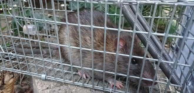 Ratte hinter Gittern