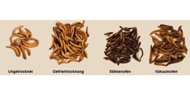 Bild 1: Einfluss der unterschiedlichen Trocknungsmethoden auf die Mehlkäferlarven.