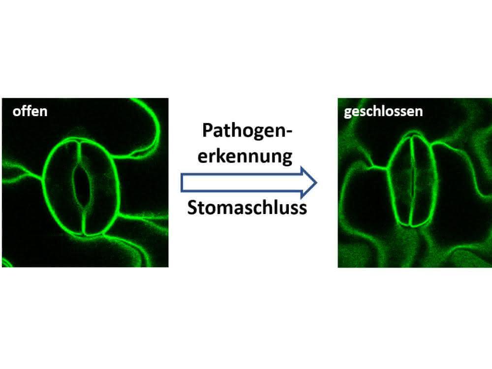 Pflanzen schützen sich vor Pilzen und anderen Krankheitserregern (Pathogenen), indem sie ihre Stomata verschließen.