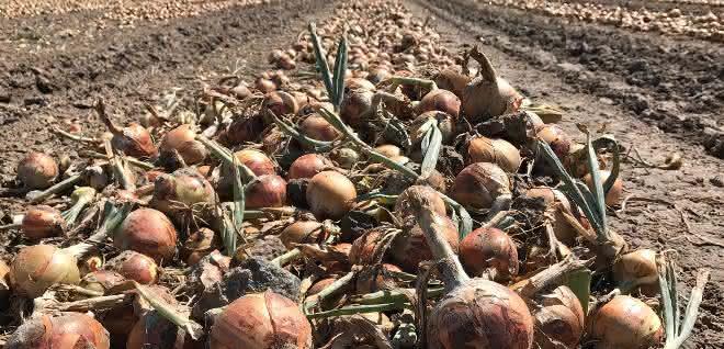 Zwiebeln auf einem Acker