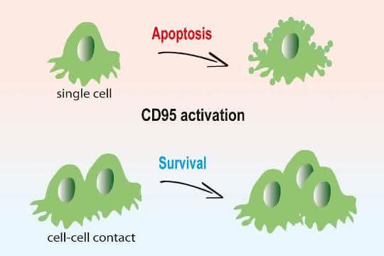 In isolierten Krebszellen führt CD95-Aktivierung zur Apoptose (oben). Für Krebszellen in dreidimensionalen Gewebestrukturen ist das CD95-Signal dagegen ein Wachstumsimpuls.