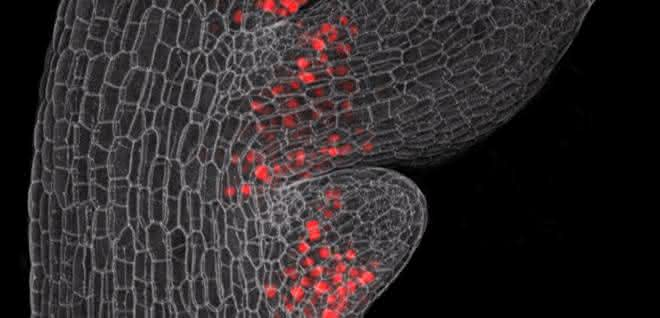 Mikroskopie-Bild eines jungen Blattes des Behaarten Schaumkrauts mit entstehenden Nebenblättern