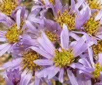Die Tataren-Aster (Aster tataricus) enthält den Arzneistoff Astin nur, wenn sie den produzierenden Pilz C. asteris beherbergt.