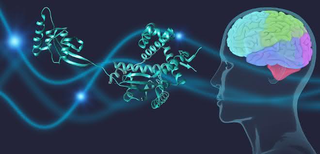 Chaperone schützen das Parkinson-Protein α-Synuclein im Gehirn.