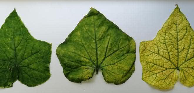 Blätter einer mit CABYV infizierten Pflanze mit Symptomen des Chlorophyllmangels