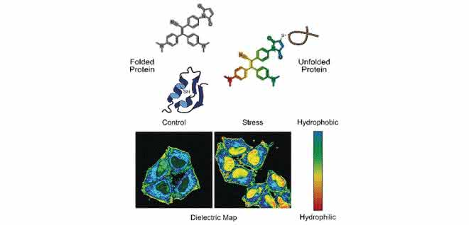 In gestressten Zellen sammeln sich häufig inaktive Proteine, die fehlgefaltet und entfaltet sind. Eine Sonde bindet an die fehlgefalteten Proteine und zeigt sie mittels Fluoreszenzsignal an.