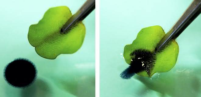 Schwarzer Öltropfen auf Wasseroberfläche wird von grünem Blatt adsorbiert.