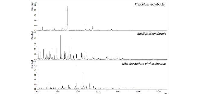 MALDI-TOF-Massenspektren: Proteinprofile der Bakterienarten Rhizobium radiobacter, Bacillus licheniformis und Microbacterium phyllosphaerae