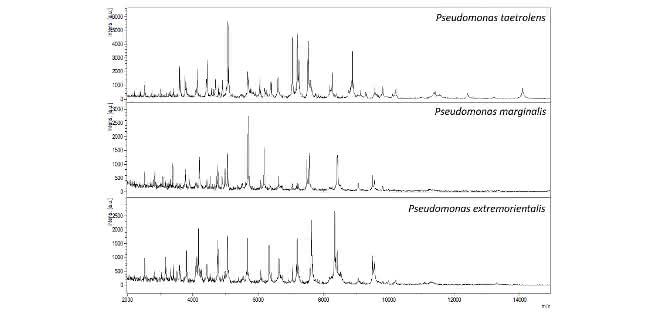 MALDI-TOF-Massenspektren zu drei Pseudomonas-Arten.