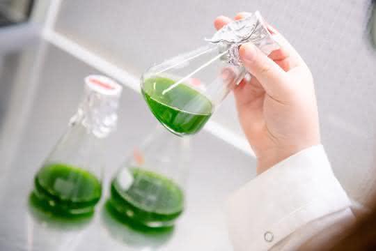 Erlenmeyerkolben mit Flüssigkeit, die durch die Algen darin grün erscheint.