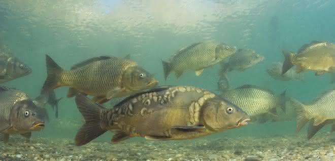Fische in Gewässer