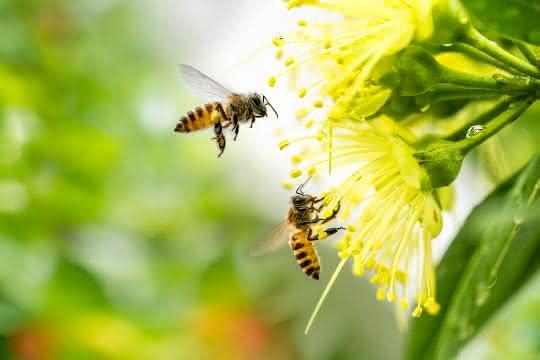 Bienen an Blüte