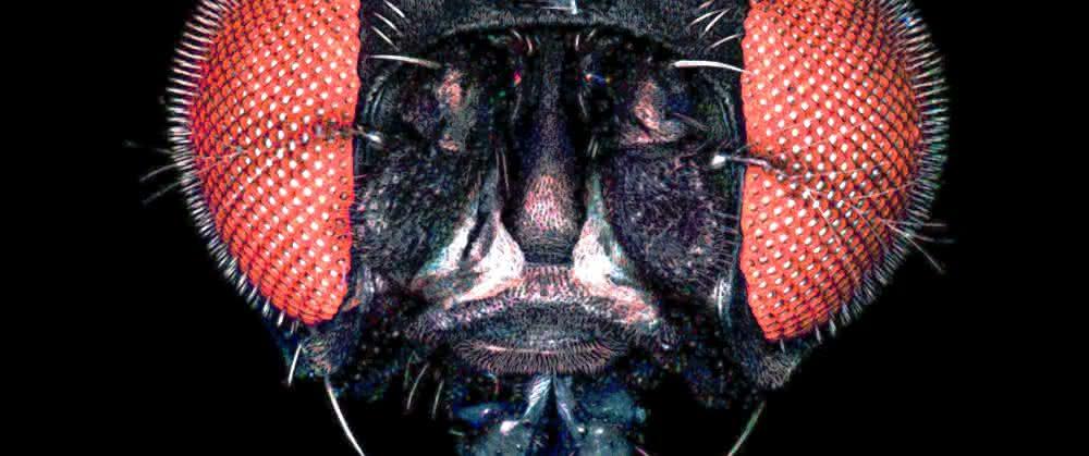 Kopf der Fruchtfliege