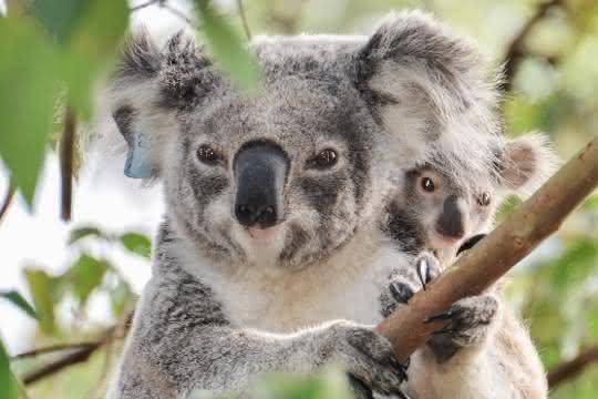 Wilder Koala mit Jungtier