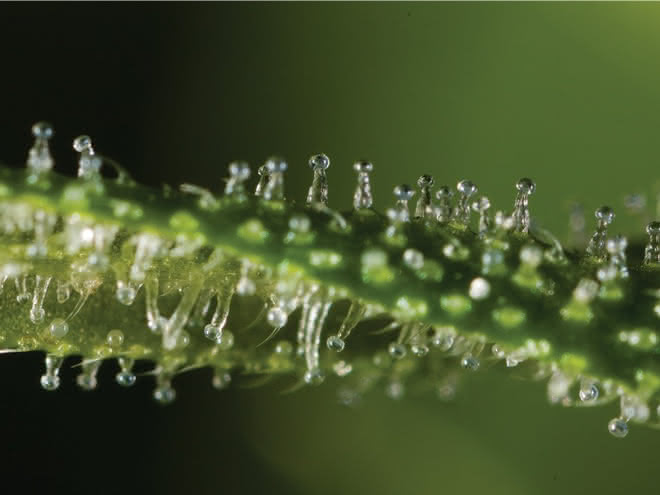 Cannabis-Trichome