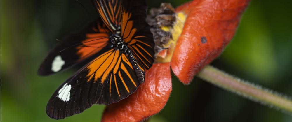 Heliconius-Schmetterling
