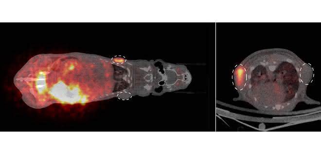 PET-Bildgebung von Tumoren im Körper einer Maus
