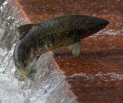Lachsfisch im Wasser