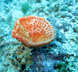 Trichter-förmige Demospongie, Malediven. (Foto: Gert Wörheide)